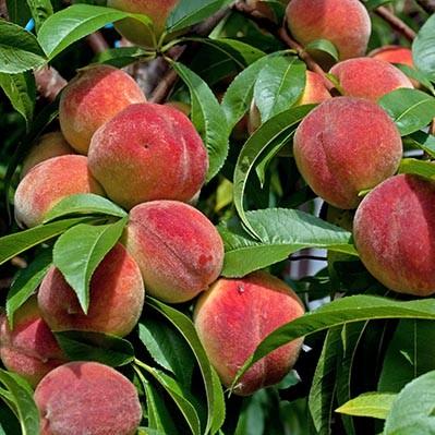 Лучше сорта Персика с фото для средних широт | Образцовая Усадьба