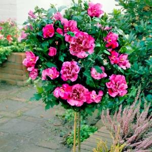Гибискус садовый фото в саду фото