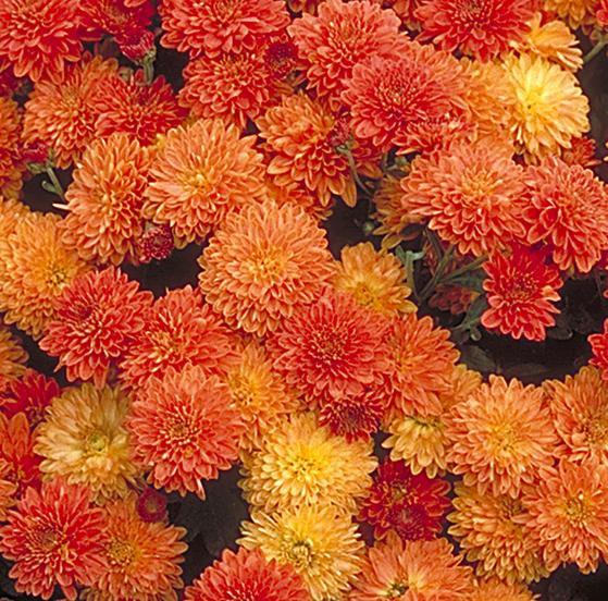 Золотые японские хризантемы фото