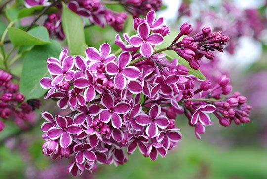 http://www.art-pen.ru/wp-content/uploads/2011/11/Lilac-Flower-3.jpg