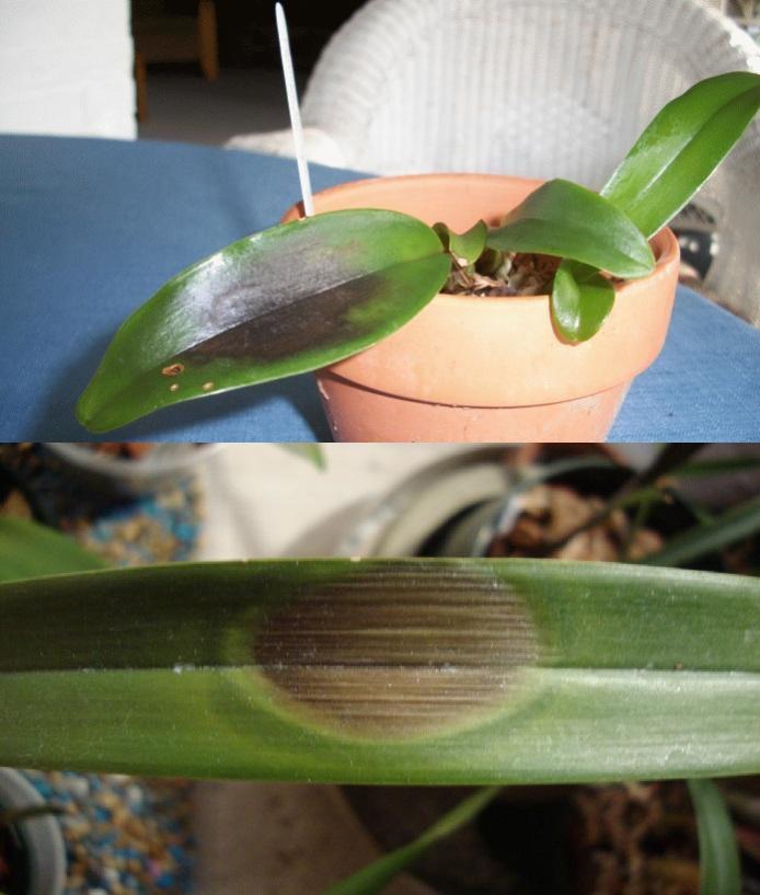 Болезни орхидей с картинками