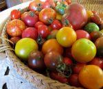 Урожайные сорта томатов в 2016 году