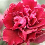 Красные сенполии: сорта фото с названиями — топ 10