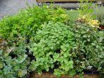 Топ 10 — растения афродизиаки нашего сада