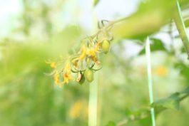 Чем удобрять томаты в грунте, чтобы быстрее завязались помидоры.