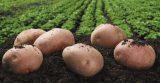 6 шагов к выращиванию отличного картофеля