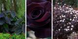 Черный цвет в саду