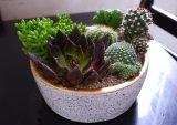 5 популярных  суккулентов для выращивания дома