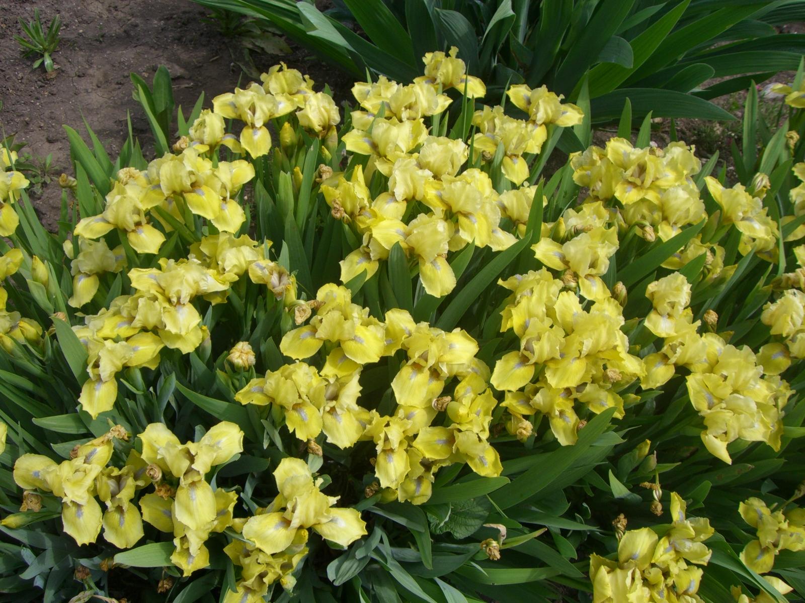 Ирисы – выращивание и уход - Сад 6 соток