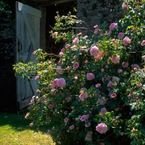 Портулак цветы в саду 81