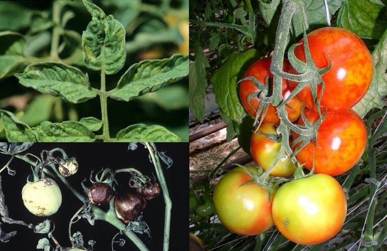 Вирусные заболевания томатов