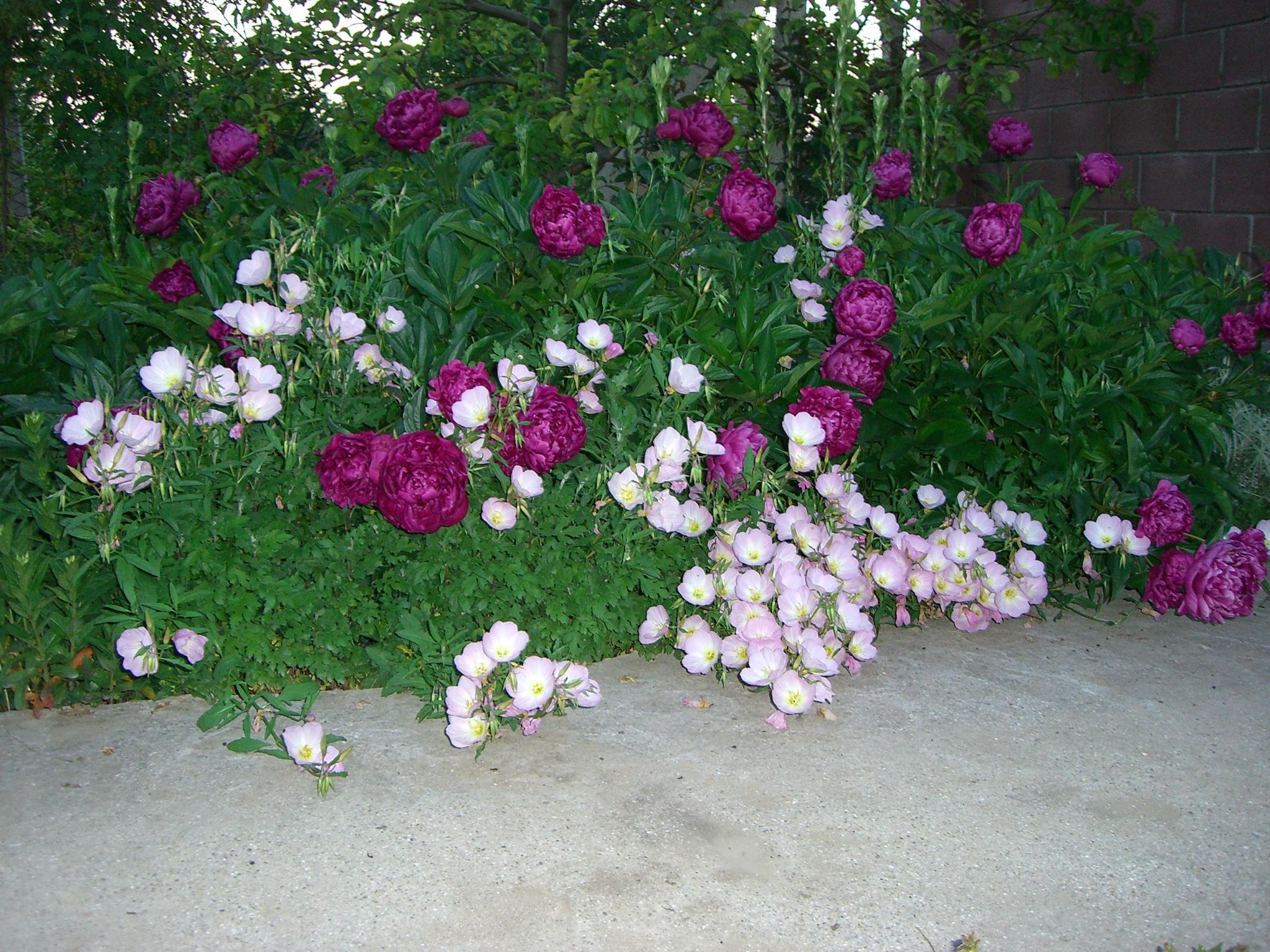 Цветы многолетние садовые для нашего