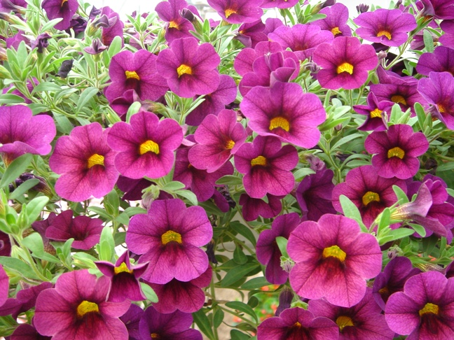 цветы на даче  однолетники