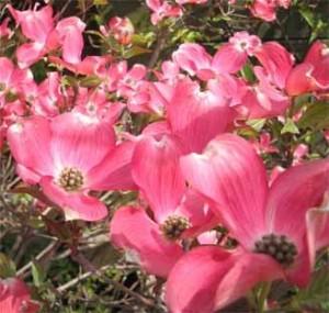 Дерен цветущий Флорида