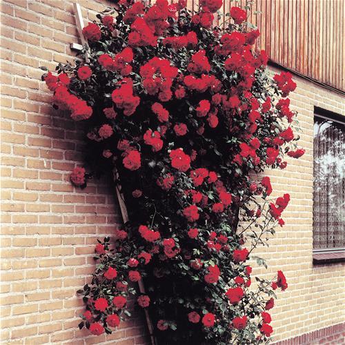 Розы плетистые   Образцовая Усадьба