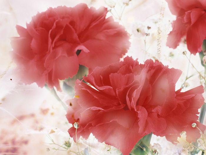 Портулак цветы в саду 19