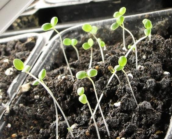 Рогатая фиалка, выращивание