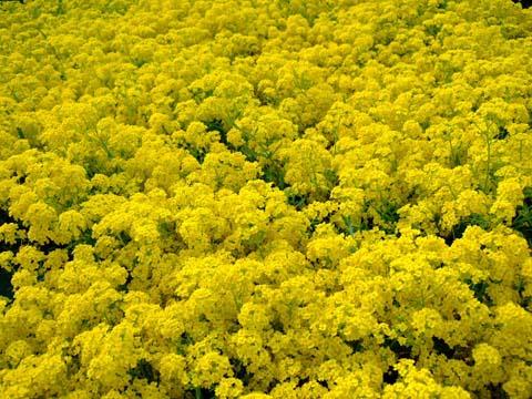 Желтый многолетний садовый цветок