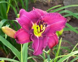 Лилейник в третий год не цветет