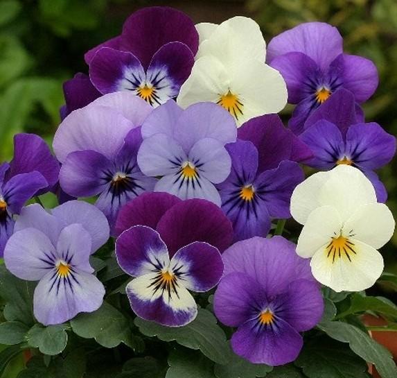 Анютины глазки цветок отзывы