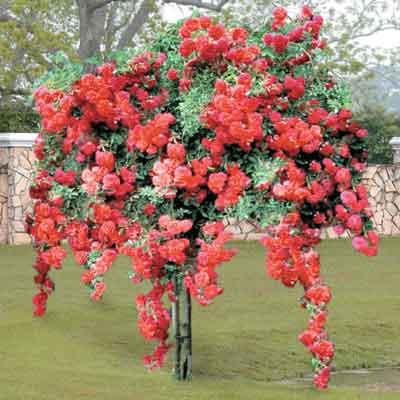 Эти цветы отличаются округлой кроной