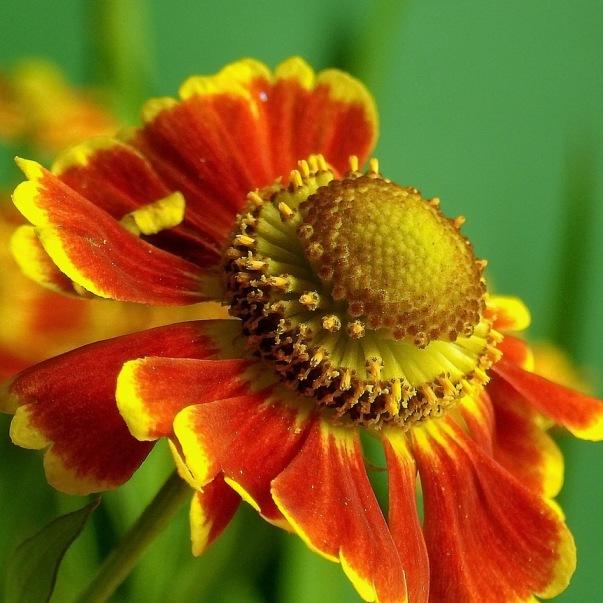 Цветок с ярко желтыми цветами
