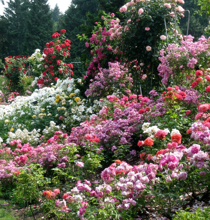 Розы в саду красивые фото