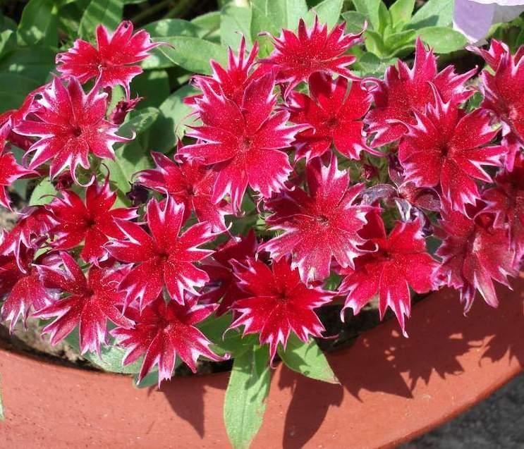 флокс цветок