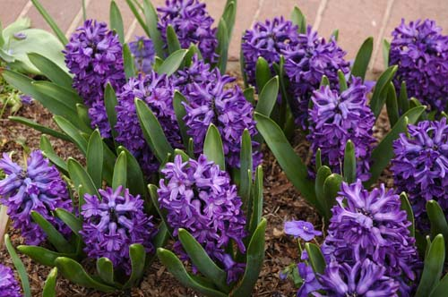 Гиацинты выращивание в саду и уход