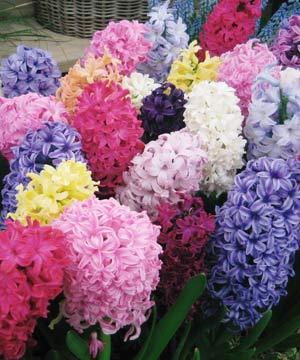 арбуз цветок фото