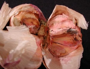 болезни чеснока