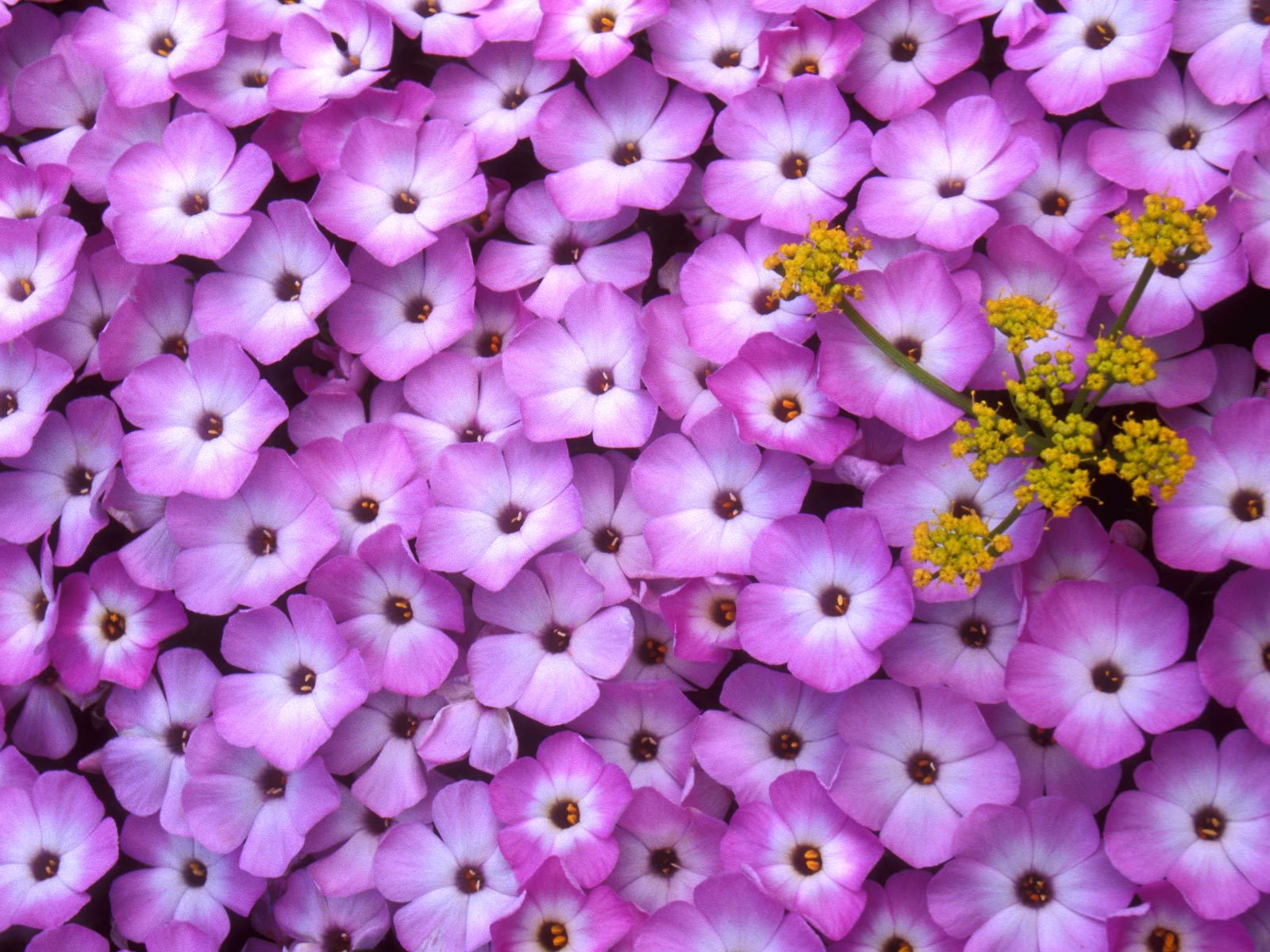 фото цветов флоксы: