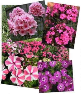 Портулак цветы в саду 92