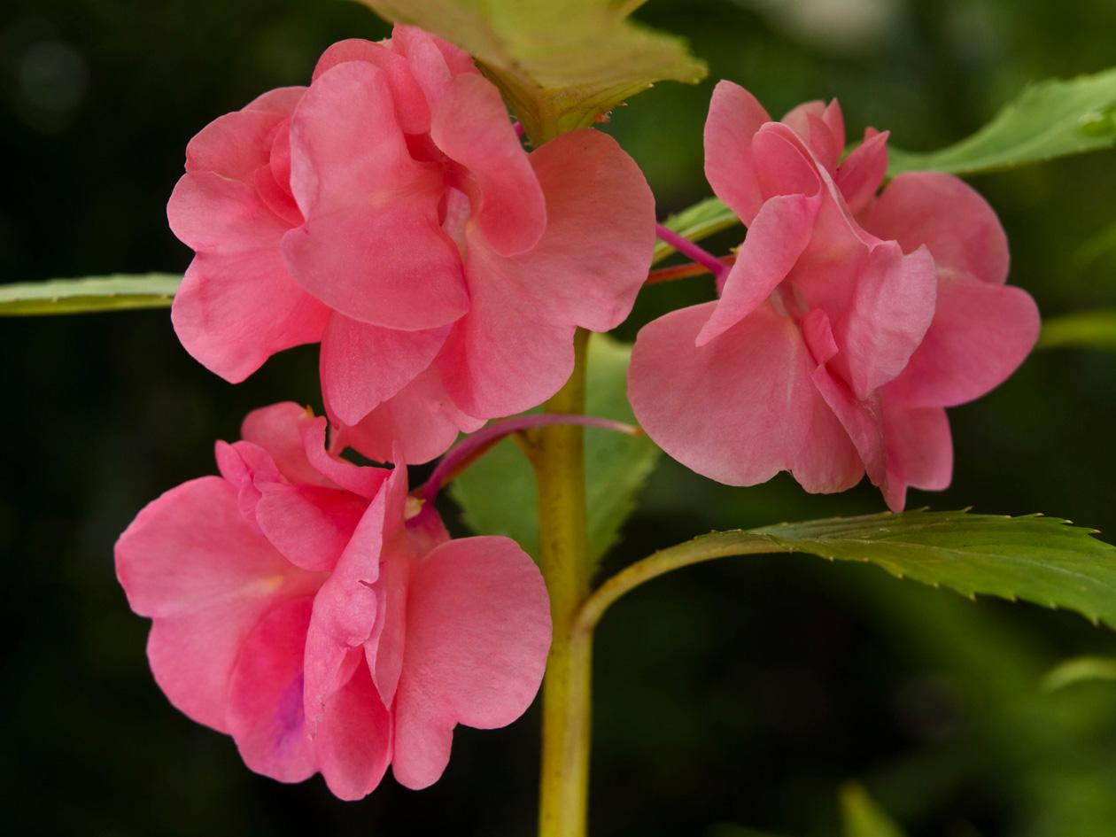 Бальзамин камелия: выращивание из семян, посадка и уход 25