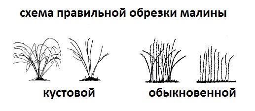 Обработка малины весной: подкормка, защита от вредителей
