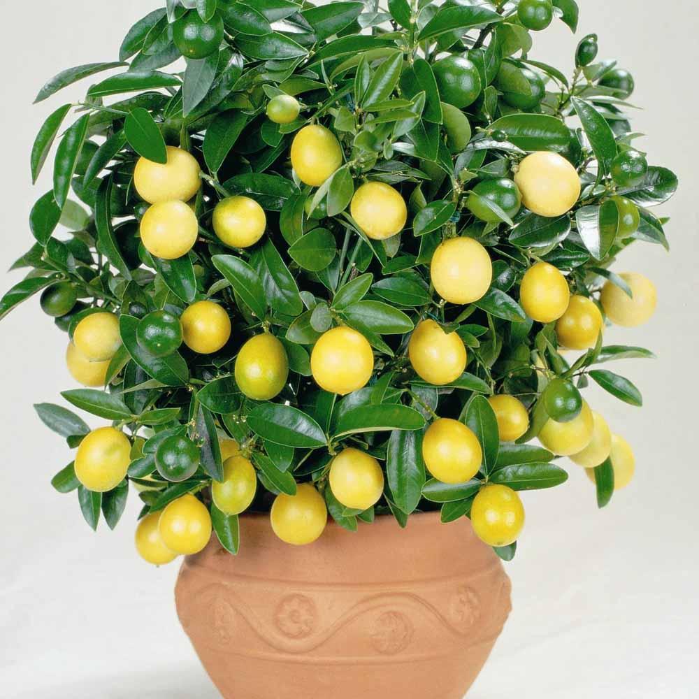 Плодоносящий апельсин из косточки в домашних условиях
