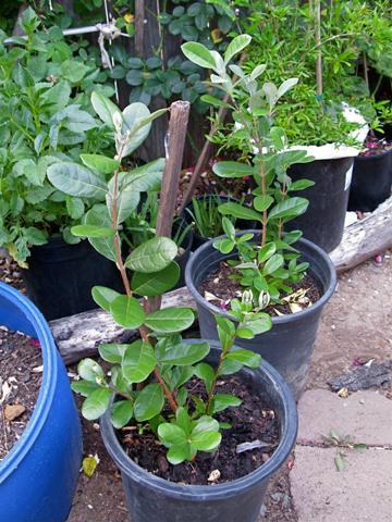 Выращивание фейхоа в открытом грунте 17