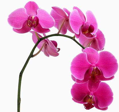 Размножение орхидей доступно и просто