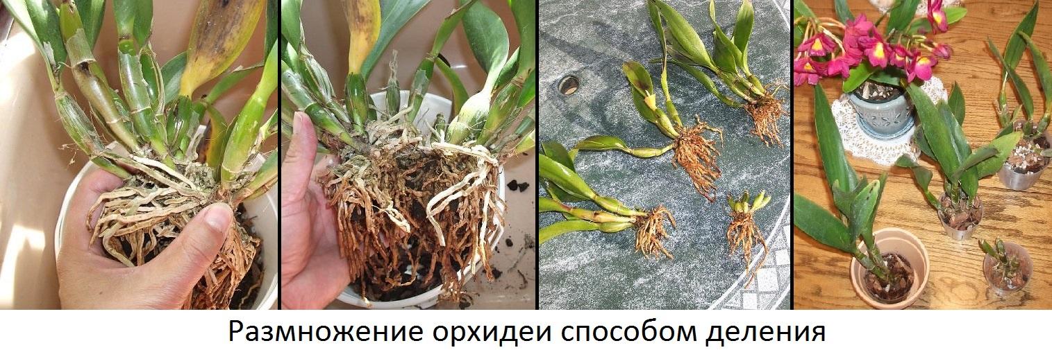 Уход за орхидеей в домашних условиях размножение детками 580