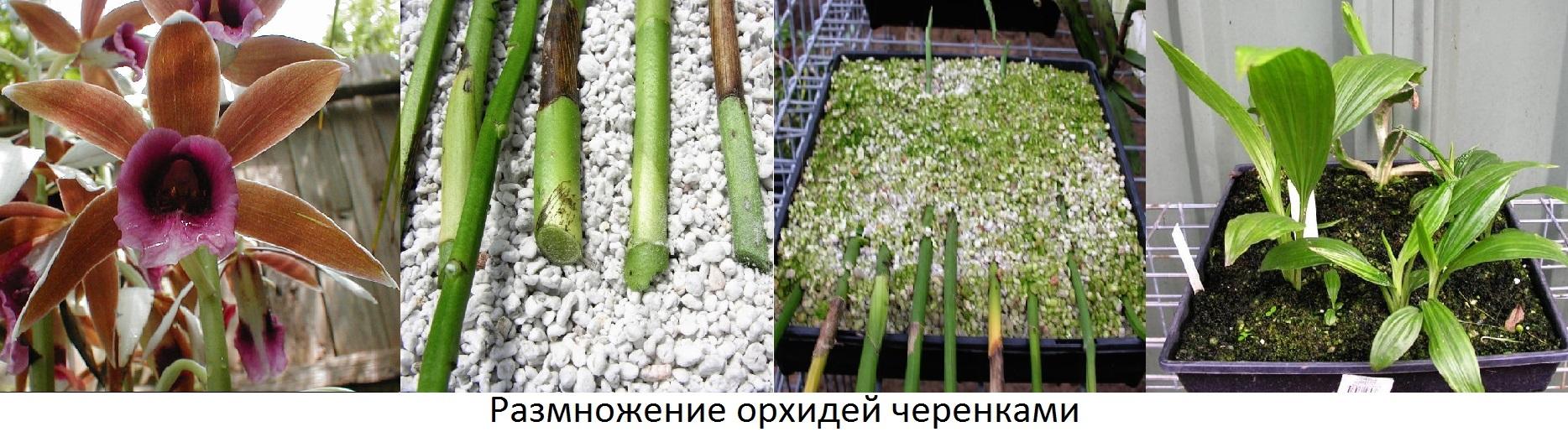 Опыт выращивания орхидей 97