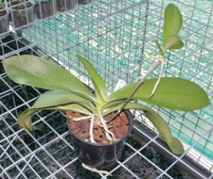 Орхидея - уход после цветения, Образцовая Усадьба
