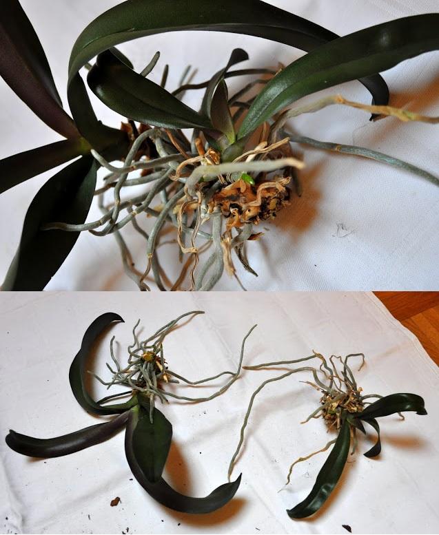 Как разделить орхидеи в домашних условиях
