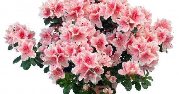 Цветы азалия где можно купить