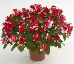 Цветок бальзамин комнатный фото