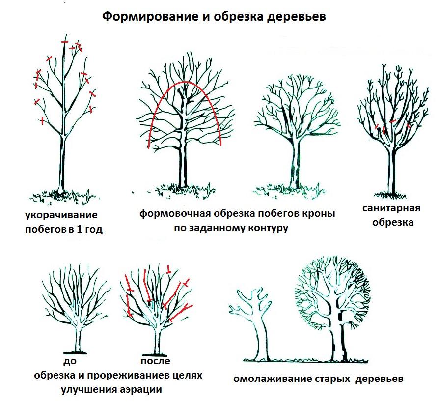 Схемы обрезки деревьев