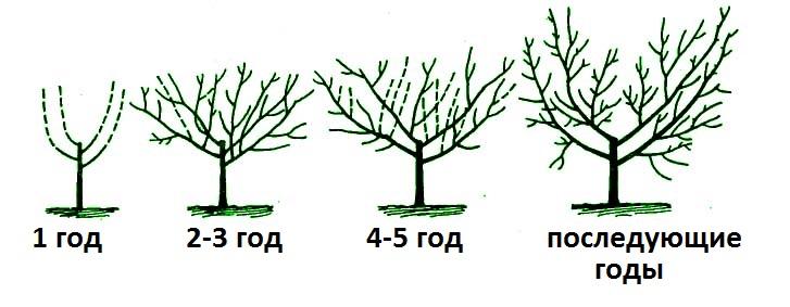 фруктовых деревьев весной