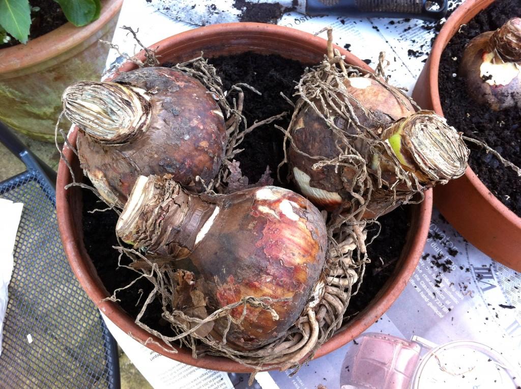 Гиппеаструм можно ли сажать несколько луковиц в один горшок 47