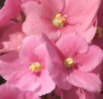 Сенполии розовые: сорта, фото — топ 15
