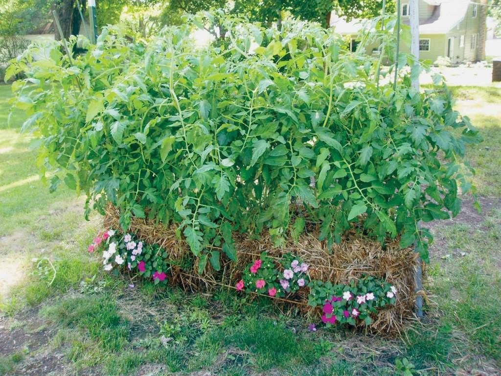 Портулак цветы в саду 29