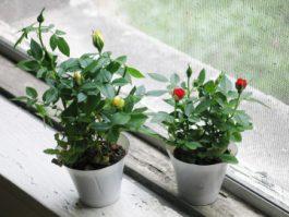 Миниатюрная роза -выращивание в горшке